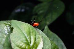 Πορτοκαλί grasshopper Στοκ εικόνα με δικαίωμα ελεύθερης χρήσης