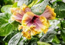 Πορτοκαλί hibiscus λουλούδι, λεπτομερής φυσική σκηνή Στοκ Εικόνες