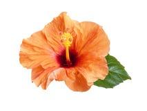 Πορτοκαλί hibiscus λουλούδι που απομονώνεται Στοκ φωτογραφία με δικαίωμα ελεύθερης χρήσης