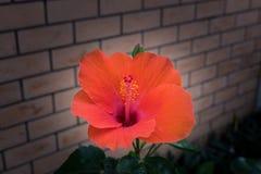 Πορτοκαλί hibiscus λουλούδι, στον κήπο Στοκ εικόνες με δικαίωμα ελεύθερης χρήσης