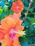 Πορτοκαλί hibiscus λουλούδι Στοκ φωτογραφίες με δικαίωμα ελεύθερης χρήσης