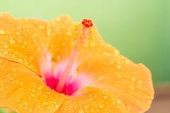 Πορτοκαλί hibiscus λουλούδι Στοκ εικόνα με δικαίωμα ελεύθερης χρήσης