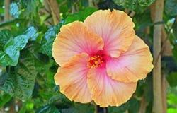 Πορτοκαλί hibiscus λουλούδι Στοκ εικόνες με δικαίωμα ελεύθερης χρήσης