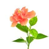 Πορτοκαλί hibiscus λουλούδι Στοκ Εικόνες
