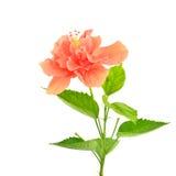 Πορτοκαλί hibiscus λουλούδι Στοκ Φωτογραφία
