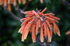 Πορτοκαλί Hyacinthaceae Στοκ Εικόνα