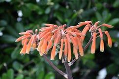 Πορτοκαλί Hyacinthaceae Στοκ εικόνα με δικαίωμα ελεύθερης χρήσης