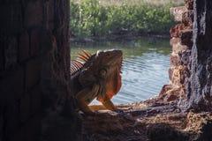 Πορτοκαλί iguana από τη Φλώριδα Στοκ εικόνα με δικαίωμα ελεύθερης χρήσης