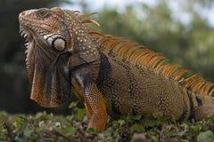 Πορτοκαλί iguana από τη Φλώριδα Στοκ Φωτογραφίες