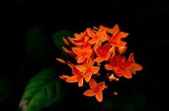 Πορτοκαλί ixora Στοκ εικόνα με δικαίωμα ελεύθερης χρήσης
