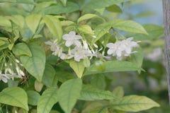 Πορτοκαλί jasmine λουλούδι Στοκ Εικόνες