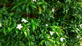 Πορτοκαλί Jessamine στον κήπο Στοκ φωτογραφίες με δικαίωμα ελεύθερης χρήσης