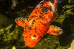 Πορτοκαλί Koi στη λίμνη Α ακόμα Στοκ Φωτογραφία