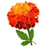 Πορτοκαλί marigold λουλούδι Στοκ εικόνα με δικαίωμα ελεύθερης χρήσης