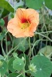 Πορτοκαλί Nasturtium λουλούδι στοκ εικόνες