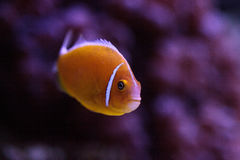 Πορτοκαλί perideraion Amphiprion μεφιτίδων clownfish αποκαλούμενο Στοκ Φωτογραφίες