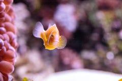 Πορτοκαλί perideraion Amphiprion μεφιτίδων clownfish αποκαλούμενο Στοκ εικόνα με δικαίωμα ελεύθερης χρήσης