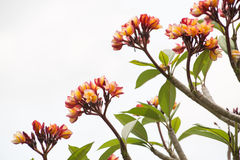 Πορτοκαλί plumeria στο δέντρο Στοκ Εικόνες