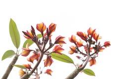 Πορτοκαλί plumeria στο δέντρο Στοκ Φωτογραφίες