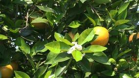 Πορτοκαλιά άνθος και πορτοκάλι απόθεμα βίντεο