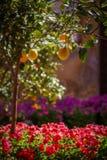 πορτοκαλιά δέντρα λεμον&iot Στοκ φωτογραφία με δικαίωμα ελεύθερης χρήσης