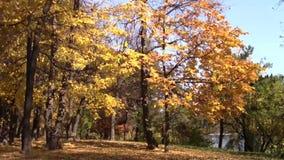 πορτοκαλιά δέντρα λιβαδιών φύλλων σημύδων φθινοπώρου απόθεμα βίντεο