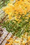 πορτοκαλιά δέντρα λιβαδιών φύλλων σημύδων φθινοπώρου Στοκ εικόνα με δικαίωμα ελεύθερης χρήσης