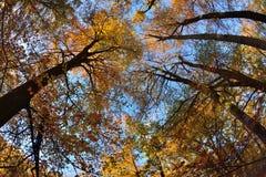 πορτοκαλιά δέντρα λιβαδιών φύλλων σημύδων φθινοπώρου Στοκ Εικόνα