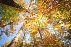 πορτοκαλιά δέντρα λιβαδιών φύλλων σημύδων φθινοπώρου Στοκ φωτογραφίες με δικαίωμα ελεύθερης χρήσης