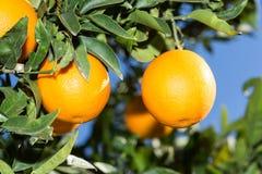 Πορτοκαλιά δέντρα της Βαλένθια Στοκ Φωτογραφία