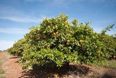 Πορτοκαλιά δέντρα Στοκ Εικόνες