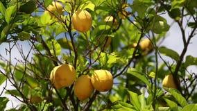 Πορτοκαλιά δέντρα φιλμ μικρού μήκους