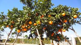 Πορτοκαλιά δέντρο και σκυλί απόθεμα βίντεο