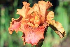 Πορτοκαλιά ίριδα λουλουδιών Στοκ Φωτογραφίες