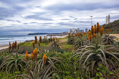 Πορτοκαλιά ανάπτυξη αλόης στους αποκατεστημένους αμμόλοφους στο Ντάρμπαν Beachfront στοκ φωτογραφίες με δικαίωμα ελεύθερης χρήσης