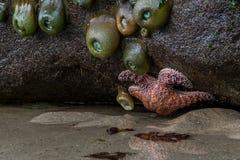 Πορτοκαλιά αστέρι και Anemones θάλασσας Στοκ Φωτογραφίες