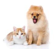 Πορτοκαλιά γάτα και σκυλί. σκυλί που εξετάζει τη κάμερα. στοκ φωτογραφία