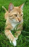 Πορτοκαλιά γάτα με τα διασχισμένα πόδια Στοκ Εικόνες