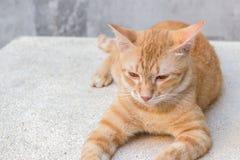 Πορτοκαλιά γάτα που βρίσκεται λοξά κοιτάζοντας μπροστά, πιπερόριζα γατών πορτρέτου Στοκ φωτογραφίες με δικαίωμα ελεύθερης χρήσης