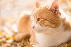 Πορτοκαλιά γάτα Στοκ εικόνα με δικαίωμα ελεύθερης χρήσης
