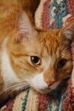 Πορτοκαλιά γάτα Στοκ Εικόνα