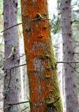 Πορτοκαλιά λειχήνα Στοκ εικόνα με δικαίωμα ελεύθερης χρήσης
