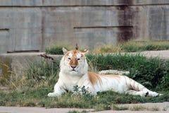Πορτοκαλιά και άσπρη τίγρη της Βεγγάλης Στοκ εικόνες με δικαίωμα ελεύθερης χρήσης