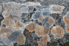 Πορτοκαλιά και γκρίζα λειχήνα σε έναν βράχο Στοκ Φωτογραφία