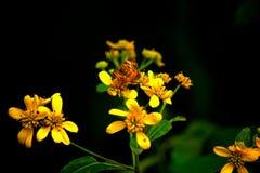Πορτοκαλιά και καφετιά πεταλούδα στα κίτρινα λουλούδια & x28 Μαργαριτάρι ημισεληνοειδής-Phyciodes tharos& x29  Στοκ Φωτογραφίες