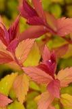 Πορτοκαλιά και κόκκινα φύλλα Στοκ φωτογραφίες με δικαίωμα ελεύθερης χρήσης