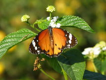 Πορτοκαλιά & καφετιά πεταλούδα στο φύλλο και το άσπρο λουλούδι Στοκ Φωτογραφίες