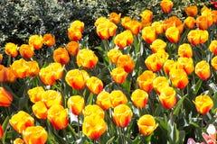 Πορτοκαλιά κινηματογράφηση σε πρώτο πλάνο κήπων λουλουδιών Στοκ Εικόνες