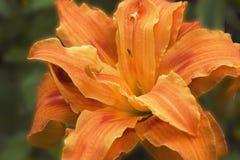 Πορτοκαλιά κινηματογράφηση σε πρώτο πλάνο λουλουδιών κρίνων Στοκ Εικόνα