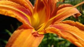 Πορτοκαλιά κινηματογράφηση σε πρώτο πλάνο λουλουδιών κρίνων Στοκ εικόνα με δικαίωμα ελεύθερης χρήσης